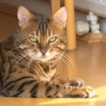 Bengal cat breed as a pet