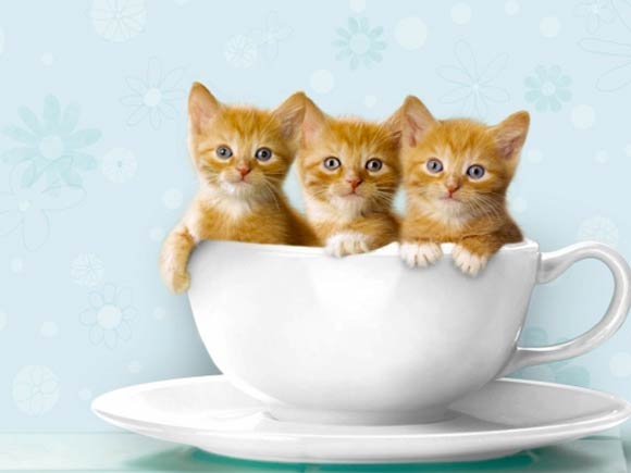 kittens that are called teacup